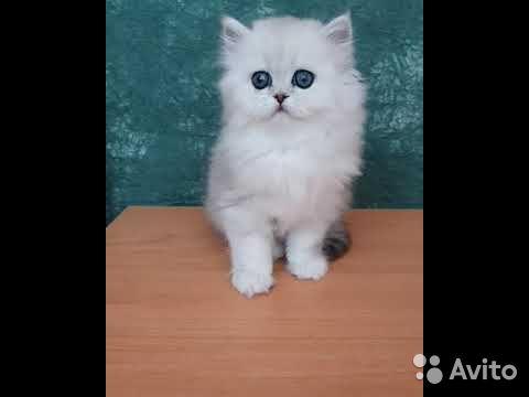 Котенок породы Персидская в добрые и ответственные